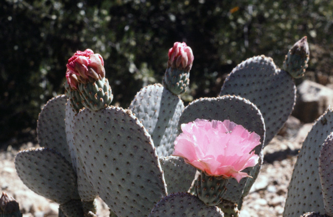 Pink prickly pear