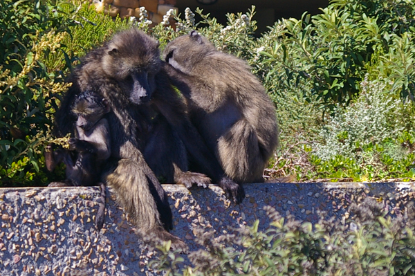 Cape Baboon Family