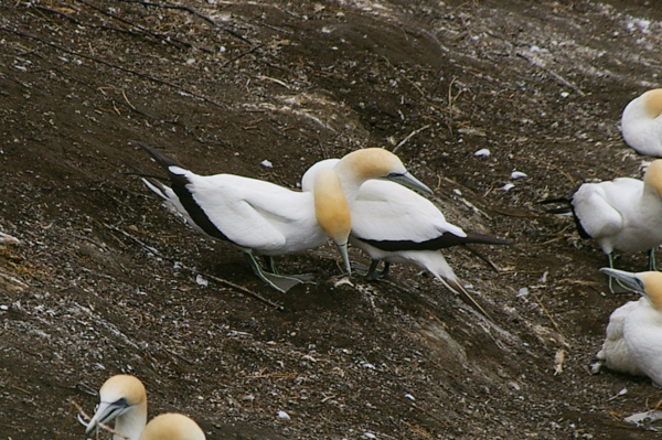 Courting gannets