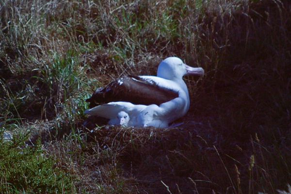 Royal Albatross with chick