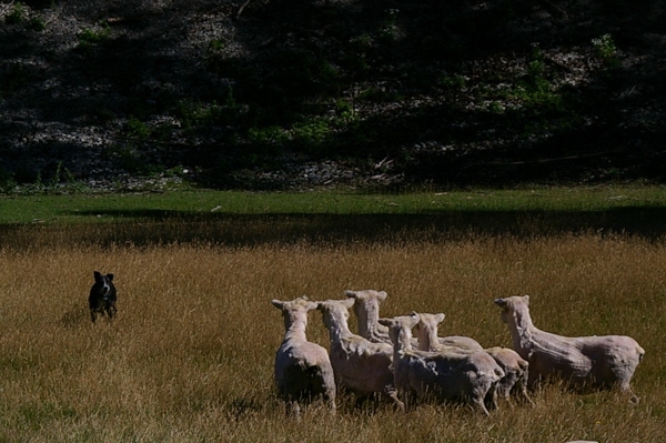 NZ Eye Dog Working Sheep