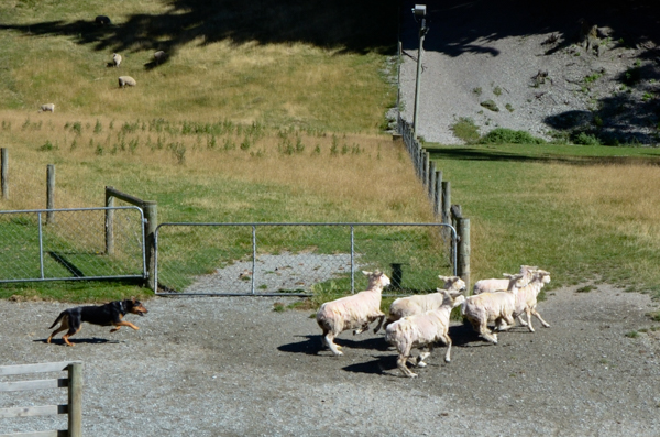 Huntaway dispersing sheep